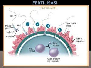 FERTILISASI Proses reproduksi dimulai dari pembelahan sel sel