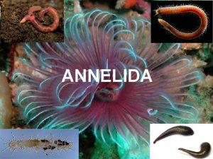 ANNELIDA Oko 12000 vrsta Naseljavaju slane i slatke