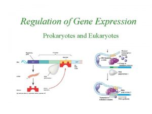 Regulation of Gene Expression Prokaryotes and Eukaryotes Regulation