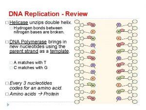 DNA Replication Review Helicase unzips double helix Hydrogen