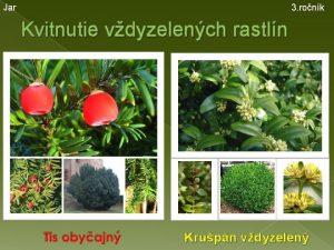 Jar 3 ronk Kvitnutie vdyzelench rastln Krupn vdyzelen