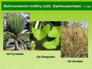 Nahosemenn rostliny odd Gymnospermae 1 st d Cycadales