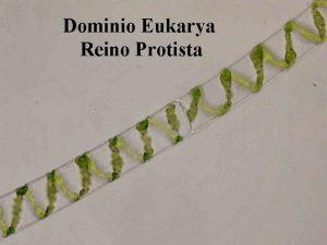 Dominio Eukarya Reino Protista Protistas Introduccin Llamamos Protista