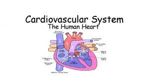 Cardiovascular System The Human Heart Human heart valves