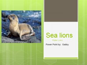 Sea lions Water Lions Power Point by Gabby
