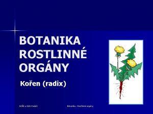 BOTANIKA ROSTLINN ORGNY Koen radix SOS a SOU