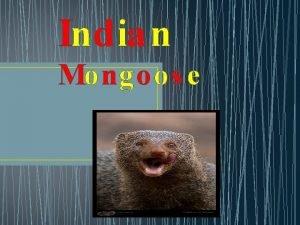 Indian Mongoos e Indian Mongoose description Indian Mongoose