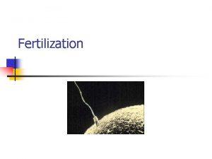 Fertilization Fertilization the fusion of the sperm cell