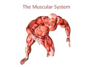 The Muscular System Functions of the Muscular System