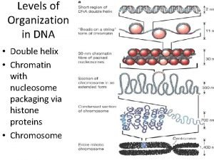 Levels of Organization in DNA Double helix Chromatin