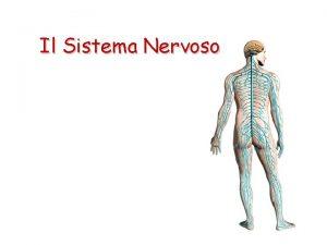 Il Sistema Nervoso Il Sistema Nervoso coordina le