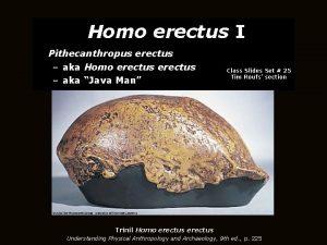 Homo erectus I Pithecanthropus erectus aka Homo erectus