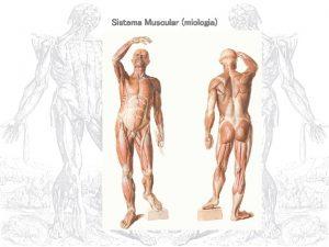 Sistema Muscular miologia I Introduo 1 Generalidades 2