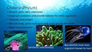 Cnidaria Phylum Jellyfish coral reefs anemones Important predators
