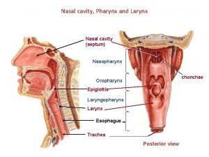 Nasal cavity Pharynx and Larynx Nasal cavity septum