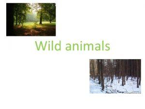 Wild animals lika a fox Lika je divok
