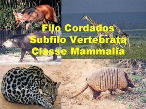 Filo Cordados Subfilo Vertebrata Classe Mammalia CLASSE MAMMALIA