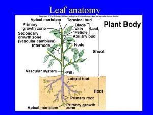 Leaf anatomy Leaf anatomy Leaves start as outgrowths