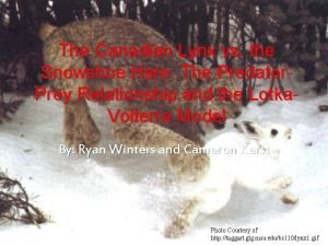 The Canadian Lynx vs the Snowshoe Hare The