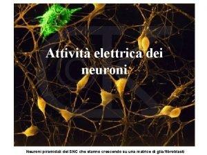 Attivit elettrica dei neuroni Neuroni piramidali del SNC
