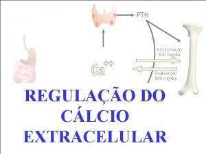 PTH Incorporao 500 mgdia Reabsoro 500 mgdia REGULAO