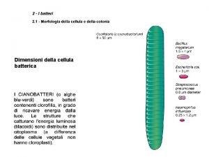 Dimensioni della cellula batterica Morfologia delle colonie batteriche