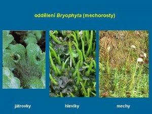 oddlen Bryophyta mechorosty jtrovky hlevky mechy mechorosty jsou