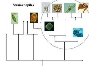 Stramenopiles Photosynthetic Stramenopiles Ochrophytes Synurophyceans SilicaScaled Algae Tribophyceans