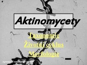Aktinomycety Taxonomie ivotn cyklus Morfologie Agromyces ramosus IFO