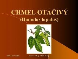 CHMEL OTIV Humulus lupulus SOS a SOU Kada