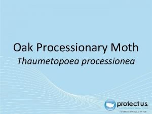 Oak Processionary Moth Thaumetopoea processionea Oak Processionary Moth