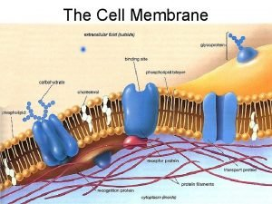 The Cell Membrane Cell Membrane Basics Function Controls