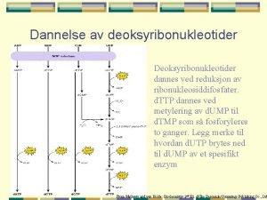 Dannelse av deoksyribonukleotider Deoksyribonukleotider dannes ved reduksjon av