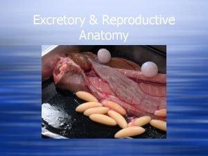 Excretory Reproductive Anatomy Excretory Reproductive Close anatomical ties