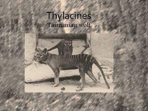 Thylacines Tasmanian wolf Description The Tasmanian wolf is