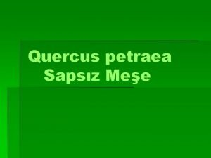 Quercus petraea Sapsz Mee Yapran Dken Meeler Ak