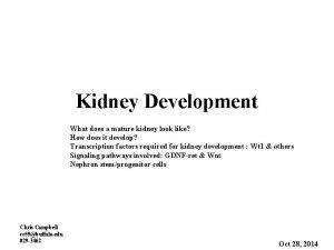 Kidney Development What does a mature kidney look