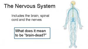 The Nervous System Includes the brain spinal cord