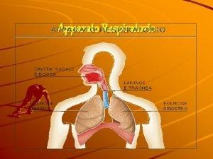 Apparato Respiratorio APPARATO RESPIRATORIO STRUTTURA ANATOMICA ATTA ALLA