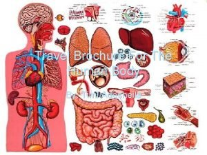 Travel Brochure For The Human Body By Timi