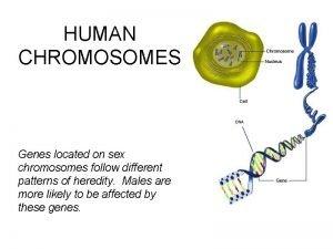 HUMAN CHROMOSOMES Genes located on sex chromosomes follow