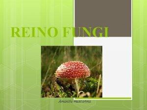 REINO FUNGI Amanita muscarina I ESTRUTURA Fungos Unicelulares