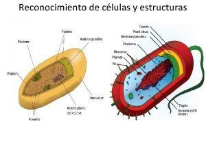 Reconocimiento de clulas y estructuras Reconocimiento de clulas
