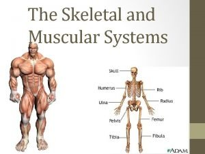 The Skeletal and Muscular Systems The Skeletal and