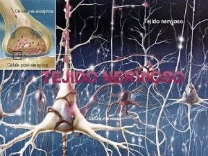 Caractersticas del Sistema Nervioso 1 El Sistema Nervioso