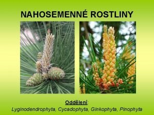 NAHOSEMENN ROSTLINY Oddlen Lyginodendrophyta Cycadophyta Ginkophyta Pinophyta NAHOSEMENN