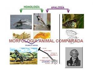 MORFOLOGIA ANIMAL COMPARADA MORFOLOGIA En biologa morfologa es