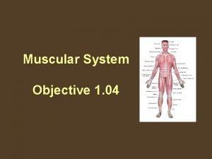 Muscular System Objective 1 04 The Muscular System