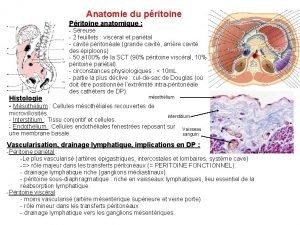 Anatomie du pritoine Pritoine anatomique Sreuse 2 feuillets