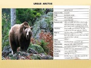 URSUS ARCTOS Poet Pretoe sa medvede pohybuj na